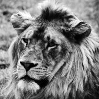 Lion by NNarcissus
