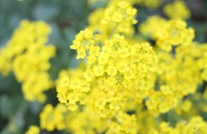 yellow blossom by lilly-gerbil