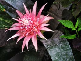 flower sun in pink by Cocotte-Vero91