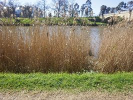 Reeds 3 by LuchareStock