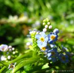 Forget me not II by SylwiaS