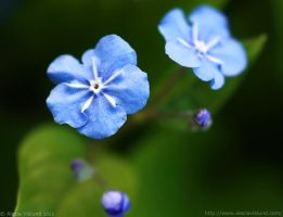 Forget Me Not by Arctida