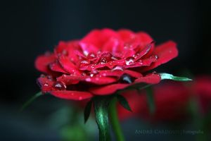 Flower by Almirith7