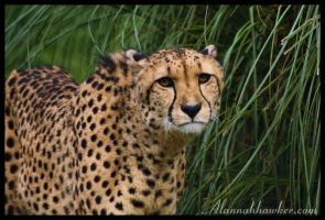 Cheetah 04 by Alannah-Hawker