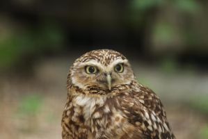 Burrowing Owl Orly by James-Marsh