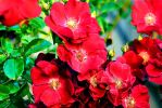 Red Flowers by AYMCreations