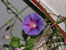 purple Morning Glory by Nipntuck3