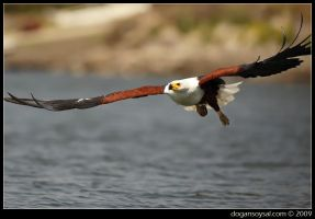 AFRICAN FISH EAGLE by dogansoysal