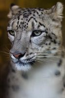 6263 - Snow leopard by Jay-Co