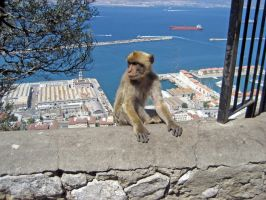 Barbary Macaque by 3ff3ction