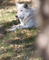 Wolf at Rest by MTaylorPhotography
