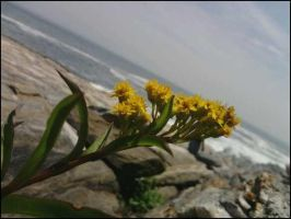 Flowers at Pemaquid by strangmusicobsession