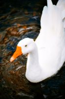 Lovely White Goose by Crazito