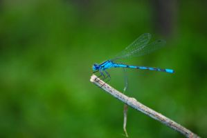 damselfly by DangerTaylor