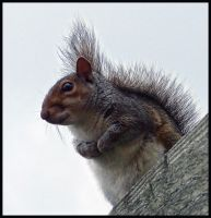 Squirrel by sags