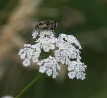 fly on a flower by hazellucy