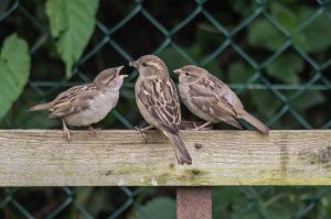 House Sparrows 001 (Passer domesticus) by Paul-Gulliver