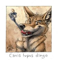 Canis lupus dingo by screwbald