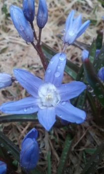 A Crocus and Dew by amazingturtles