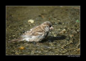 Bathing sparrow by grugster