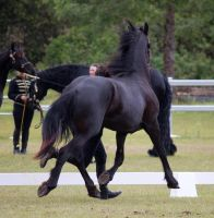 STOCK - Friesian Show 2012-69 by fillyrox