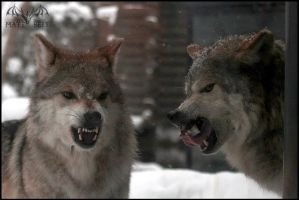 Mean Wolves by DragonWolfACe