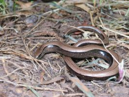 Legless Lizard - Anguis fragilis by Oddity-1991