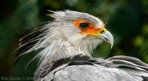 3773 - Secretarybird by RobDavids-DigitalArt