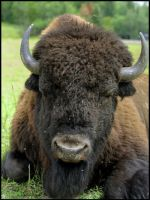 bison by RichardRobert