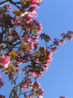 Crabapple branch 05 by CotyStock