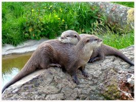 otter couple by Summer-Sunny
