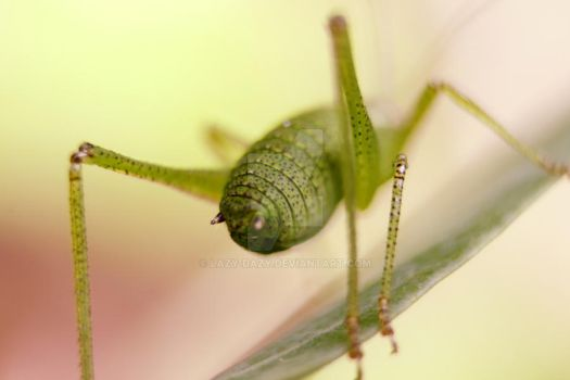 speckled bush cricket 2 by Lazy-Dazy
