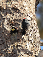 Woodpeckers by Camel51