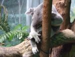 Koala at zoo by willow1894