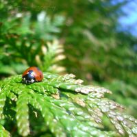Ladybug square by db28-photography