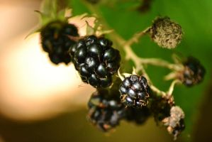 Blackberry 2 by aria25