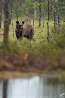 Brown Bear by linneaphoto