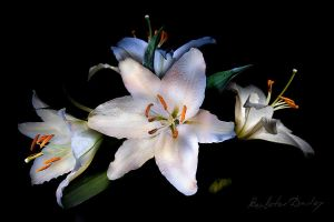 flowers Lily... by boulatov