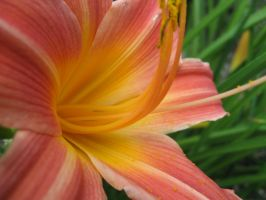 Perfect Peach Daylily by groundhog22