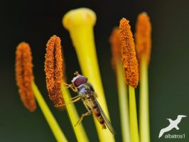 Hoverfly by albatros1