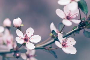 Cranberry blossoms by paulbalchin