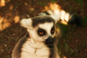 "Lemur says ""Hi"" by Diffethan"