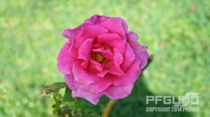 Pink Rose by pfgun0