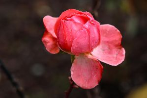 Pantere Rose by organicvision