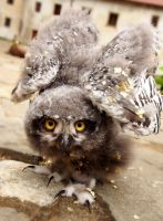Angry owlet by MirachRavaia