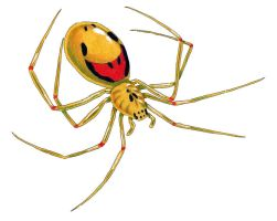 Happy-Face Spider by NocturnalSea