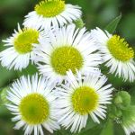 The Fever for Feverfew by TeaPhotography