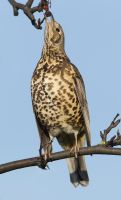 Berry nice- Mistle thrush by Jamie-MacArthur