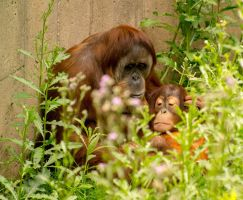 Mother Orangutan and Child by Noble-Kenshi