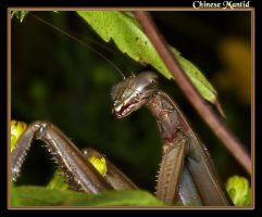 Chinese Mantid by boron